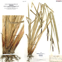 Leaves: Carex acutiformis. ~ By CONN Herbarium. ~ Copyright © 2019 CONN Herbarium. ~ Requests for image use not currently accepted by copyright holder ~ U. of Connecticut Herbarium - bgbaseserver.eeb.uconn.edu/