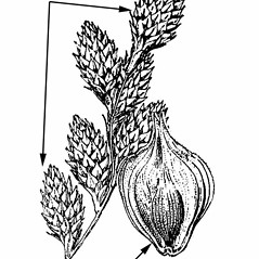 Inflorescence: Carex alata. ~ By Julian A. Steyermark. ~ Copyright © 2017. ~ Allison Brock, Allison.Brock[at]mobot.org ~ Steyermark, Julian A. 1963. The Flora of Missouri. The Iowa State U. Press, Ames, IA. 1725pp.