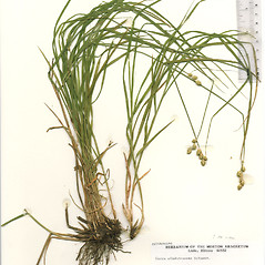 Plant form: Carex albolutescens. ~ By The Herbarium of The Morton Arboretum (MOR). ~ Copyright © 2018 The Morton Arboretum. ~ Ed Hedborn, The Morton Arboretum ~ The Herbarium of The Morton Arboretum