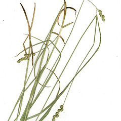 Leaves: Carex albolutescens. ~ By CONN Herbarium. ~ Copyright © 2018 CONN Herbarium. ~ Requests for image use not currently accepted by copyright holder ~ U. of Connecticut Herbarium - bgbaseserver.eeb.uconn.edu/