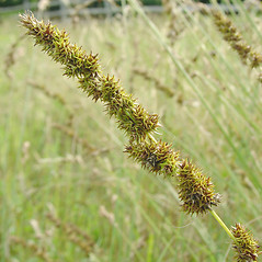 Inflorescence: Carex annectens. ~ By Glen Mittelhauser. ~ Copyright © 2017 Glen Mittelhauser. ~ www.mainenaturalhistory.org
