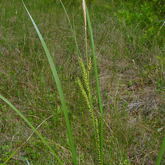 Plant form: Carex aquatilis. ~ By Arthur Haines. ~ Copyright © 2020. ~ arthurhaines[at]wildblue.net