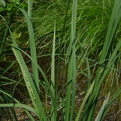 Leaves: Carex aquatilis. ~ By Donald Cameron. ~ Copyright © 2020 Donald Cameron. ~ No permission needed for non-commercial uses, with proper credit