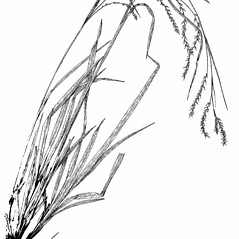 Plant form: Carex arctata. ~ By Harry Creutzburg. ~ Copyright © 2019 The New York Botanical Garden. ~ http://www.copyright.com ~ Kenneth K. Mackenzie. North American Cariceae, Vols. 1 & 2. Copyright 1940 The New York Botanical Garden