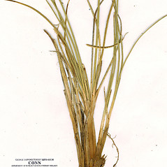 Leaves: Carex arctogena. ~ By CONN Herbarium. ~ Copyright © 2019 CONN Herbarium. ~ Requests for image use not currently accepted by copyright holder ~ U. of Connecticut Herbarium - bgbaseserver.eeb.uconn.edu/