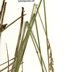 Leaves: Carex argyrantha. ~ By CONN Herbarium. ~ Copyright © 2019 CONN Herbarium. ~ Requests for image use not currently accepted by copyright holder ~ U. of Connecticut Herbarium - bgbaseserver.eeb.uconn.edu/