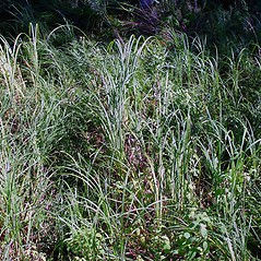 Plant form: Carex atherodes. ~ By Arthur Haines. ~ Copyright © 2018. ~ arthurhaines[at]wildblue.net