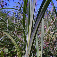 Leaves: Carex atherodes. ~ By Arthur Haines. ~ Copyright © 2018. ~ arthurhaines[at]wildblue.net
