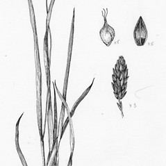 Plant form: Carex atratiformis. ~ By Tess Feltes. ~  Public Domain. ~  ~ U. of New Hampshire