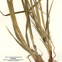 Leaves: Carex atratiformis. ~ By CONN Herbarium. ~ Copyright © 2019 CONN Herbarium. ~ Requests for image use not currently accepted by copyright holder ~ U. of Connecticut Herbarium - bgbaseserver.eeb.uconn.edu/