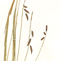Inflorescence: Carex barrattii. ~ By CONN Herbarium. ~ Copyright © 2019 CONN Herbarium. ~ Requests for image use not currently accepted by copyright holder ~ U. of Connecticut Herbarium - bgbaseserver.eeb.uconn.edu/