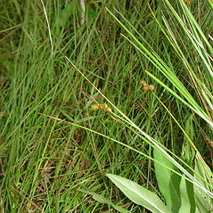 Plant form: Carex bebbii. ~ By Glen Mittelhauser. ~ Copyright © 2018 Glen Mittelhauser. ~ www.mainenaturalhistory.org