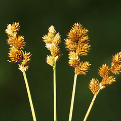 Inflorescence: Carex bebbii. ~ By Fred Weinmann. ~ Copyright © 2019 Fred Weinmann. ~ fweinmann[at]cablespeed.com ~ U. of Washington - WTU - Herbarium - biology.burke.washington.edu/herbarium/imagecollection.php