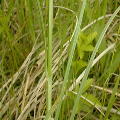 Leaves: Carex bicknellii. ~ By John Hilty. ~ Copyright © 2019 John Hilty. ~ john[at]illinoiswildflowers.info ~ Illinois Wildflowers - www.illinoiswildflowers.info/index.htm