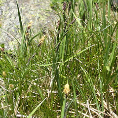 Plant form: Carex bigelowii. ~ By Bruce Patterson. ~ Copyright © 2018 Bruce Patterson. ~ foxpatterson[at]comcast.net