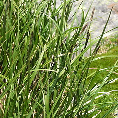 Leaves: Carex bigelowii. ~ By Bruce Patterson. ~ Copyright © 2018 Bruce Patterson. ~ foxpatterson[at]comcast.net