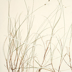 Plant form: Carex billingsii. ~ By New England Botanical Club. ~ Copyright © 2017 New England Botanical Club. ~ No permission needed for non-commercial uses, with proper credit