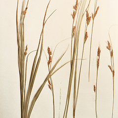 Plant form: Carex brunnea. ~ By Harvard University Herbaria. ~ Copyright © 2017 Harvard University Herbaria. ~ Requests for image use not currently accepted by copyright holder ~ Harvard U. Herbaria