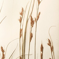 Inflorescence: Carex brunnea. ~ By Harvard University Herbaria. ~ Copyright © 2020 Harvard University Herbaria. ~ Requests for image use not currently accepted by copyright holder ~ Harvard U. Herbaria