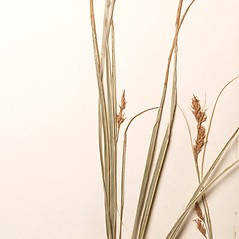 Leaves: Carex brunnea. ~ By Harvard University Herbaria. ~ Copyright © 2017 Harvard University Herbaria. ~ Requests for image use not currently accepted by copyright holder ~ Harvard U. Herbaria