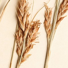 Perigynia: Carex brunnea. ~ By Harvard University Herbaria. ~ Copyright © 2020 Harvard University Herbaria. ~ Requests for image use not currently accepted by copyright holder ~ Harvard U. Herbaria