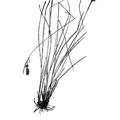Plant form: Carex bushii. ~ By Harry Creutzburg. ~ Copyright © 2017 The New York Botanical Garden. ~ http://www.copyright.com ~ Kenneth K. Mackenzie. North American Cariceae, Vols. 1 & 2. Copyright 1940 The New York Botanical Garden