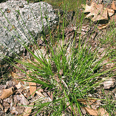 Plant form: Carex communis. ~ By Marilee Lovit. ~ Copyright © 2020 Marilee Lovit. ~ lovitm[at]gmail.com