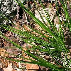 Leaves: Carex communis. ~ By Marilee Lovit. ~ Copyright © 2020 Marilee Lovit. ~ lovitm[at]gmail.com