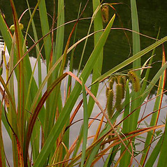 Plant form: Carex comosa. ~ By Ben Legler. ~ Copyright © 2019 Ben Legler. ~ mountainmarmot[at]hotmail.com ~ U. of Washington - WTU - Herbarium - biology.burke.washington.edu/herbarium/imagecollection.php