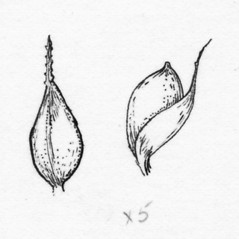 Achenes: Carex conoidea. ~ By Tess Feltes. ~  Public Domain. ~  ~ U. of New Hampshire
