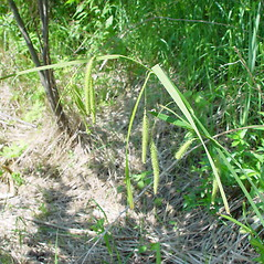 Plant form: Carex crinita. ~ By Arthur Haines. ~ Copyright © 2019. ~ arthurhaines[at]wildblue.net