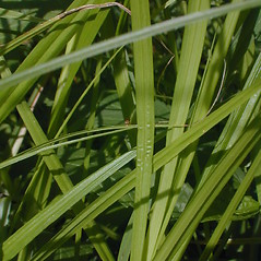 Leaves: Carex cristatella. ~ By John Hilty. ~ Copyright © 2019 John Hilty. ~ john[at]illinoiswildflowers.info ~ Illinois Wildflowers - www.illinoiswildflowers.info/index.htm