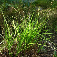 Plant form: Carex cumulata. ~ By Glen Mittelhauser. ~ Copyright © 2018 Glen Mittelhauser. ~ www.mainenaturalhistory.org
