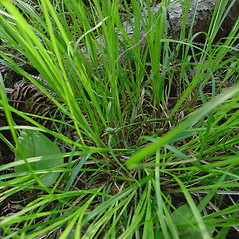 Plant form: Carex deflexa. ~ By Glen Mittelhauser. ~ Copyright © 2018 Glen Mittelhauser. ~ www.mainenaturalhistory.org