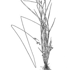 Plant form: Carex deweyana. ~ By Harry Creutzburg. ~ Copyright © 2017 The New York Botanical Garden. ~ http://www.copyright.com ~ Kenneth K. Mackenzie. North American Cariceae, Vols. 1 & 2. Copyright 1940 The New York Botanical Garden