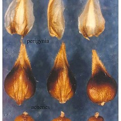 Achenes: Carex diandra. ~ By USDA-NRCS PLANTS Database. ~  Public Domain. ~ None needed ~ USDA-NRCS Plants Database - plants.usda.gov/java/