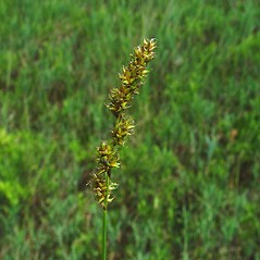 Inflorescence: Carex diandra. ~ By Arthur Haines. ~ Copyright © 2018. ~ arthurhaines[at]wildblue.net