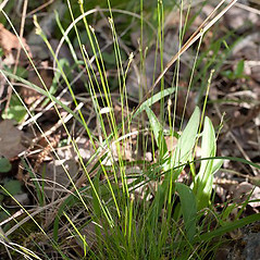 Plant form: Carex eburnea. ~ By John Gwaltney. ~ Copyright © 2018 John Gwaltney. ~ southeasternflora.com ~ Southeastern Flora - www.southeasternflora.com/