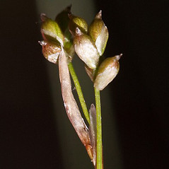 Perigynia: Carex eburnea. ~ By John Gwaltney. ~ Copyright © 2018 John Gwaltney. ~ southeasternflora.com ~ Southeastern Flora - www.southeasternflora.com/