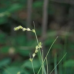 Inflorescence: Carex echinodes. ~ By Andrew Hipp. ~ Copyright © 2018 Andrew Hipp. ~ The Morton Arboretum, http://systematics.morton.org ~ Encyclopedia of Life - www.eol.org