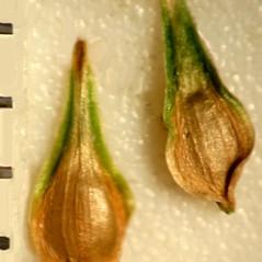 Perigynia: Carex echinodes. ~ By Linda W. Curtis. ~ Copyright © 2019 Linda W. Curtis. ~ Curtistothethird.com ~ Robert W. Freckmann Herbarium, U. of Wisconsin-Stevens Point