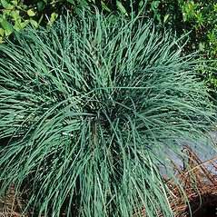 Plant form: Carex flacca. ~ By John Ruter. ~ Copyright © 2018 CC BY-NC 3.0. ~  ~ Bugwood - www.bugwood.org/