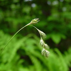 Inflorescence: Carex foenea. ~ By Arthur Haines. ~ Copyright © 2017. ~ arthurhaines[at]wildblue.net