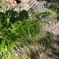 Plant form: Carex gracillima. ~ By Marilee Lovit. ~ Copyright © 2018 Marilee Lovit. ~ lovitm[at]gmail.com