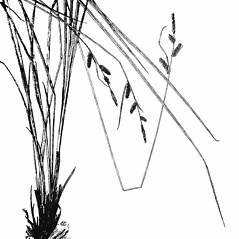 Plant form: Carex haydenii. ~ By Harry Creutzburg. ~ Copyright © 2019 The New York Botanical Garden. ~ http://www.copyright.com ~ Kenneth K. Mackenzie. North American Cariceae, Vols. 1 & 2. Copyright 1940 The New York Botanical Garden