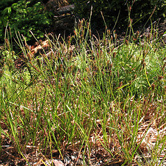 Plant form: Carex houghtoniana. ~ By Marilee Lovit. ~ Copyright © 2020 Marilee Lovit. ~ lovitm[at]gmail.com