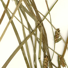 Leaves: Carex houghtoniana. ~ By CONN Herbarium. ~ Copyright © 2019 CONN Herbarium. ~ Requests for image use not currently accepted by copyright holder ~ U. of Connecticut Herbarium - bgbaseserver.eeb.uconn.edu/