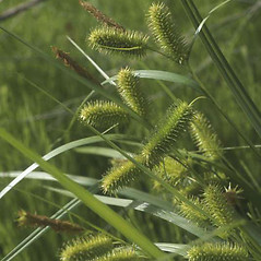 Plant form: Carex hystericina. ~ By Dana Visalli. ~ Copyright © 2017. ~ dana[at]methownet.com ~ U. of Washington - WTU - Herbarium - biology.burke.washington.edu/herbarium/imagecollection.php