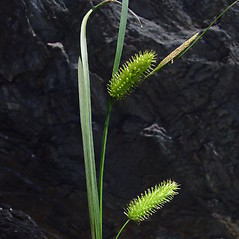 Inflorescence: Carex hystericina. ~ By Donald Cameron. ~ Copyright © 2018 Donald Cameron. ~ No permission needed for non-commercial uses, with proper credit
