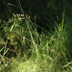 Plant form: Carex interior. ~ By Ben Legler. ~ Copyright © 2017 Ben Legler. ~ mountainmarmot[at]hotmail.com ~ U. of Washington - WTU - Herbarium - biology.burke.washington.edu/herbarium/imagecollection.php